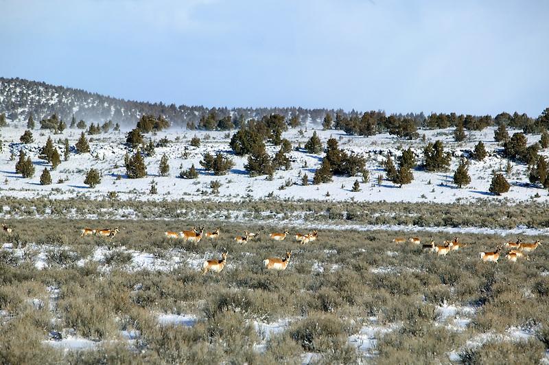 Antelope in snowy field near Burns, Oregon