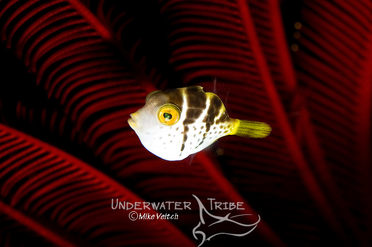 Mimic filefish, Paraluteres prionurus, with crinoid background,  Himerometra robustipinna, Seraya Secrets, Tulamben, Indonesia, Pacific Ocean