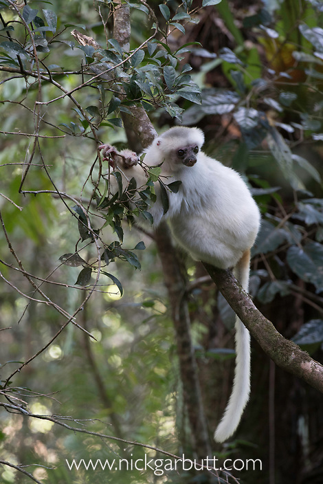 Silky Sifaka (Propithecus candidus) feeding in montane rainforest mid-storey. Marojejy National Park, north east Madagascar. Critically Endangered.