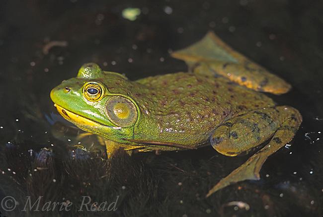 Bullfrog (Rana catesbeiana), male, New York, USA<br /> Slide # A2-24