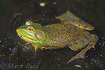 Bullfrog (Rana catesbeiana), male, New York, USA<br /> Slide # A2-24