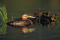 Red-Necked Grebe beside Nest. Floating nest is made of mud, twigs and pond vegetation. Jasper National Park, Alberta, Canada. Spring. (Podiceps grisegena).