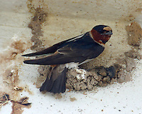 Adult cliff swallow building nest