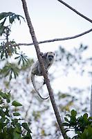 Pirapora _ MG, Brasil...Detalhe de um macaco Bugio (Alouatta guariba) no galho de uma arvore em Pirapora, Minas Gerais...Detail of a monkey Bugio (Alouatta guariba) in branch tree in Pirapora, Minas Gerais...Foto: JOAO MARCOS ROSA / NITRO