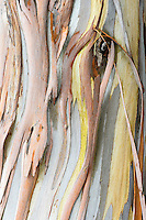 Patterns and colors of Eucalyptus tree bark.  Central California Coast.