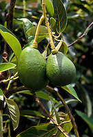 Two island avocados growing on tree
