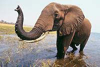 African Elephant bull (Loxodonta africana) Lake Kariba, Matusadona National Park, Zimbabwe.