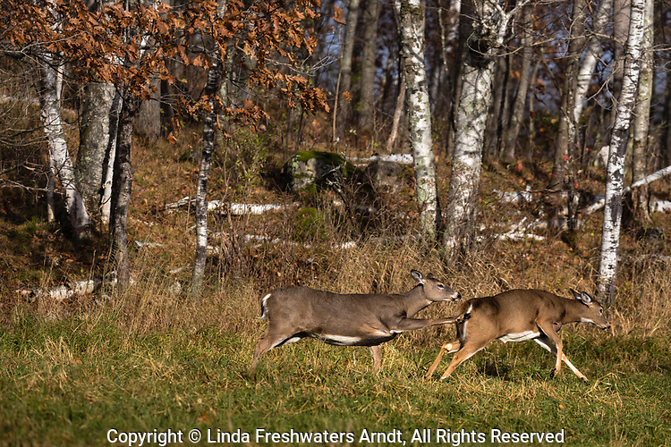 White-tailed doe literally kicking another doe out of her area.