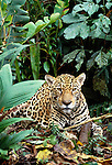 The jaguar is at the top of the food chain in the Amazon rainforest, Tambopata-Candamo National Reserve, Peru.