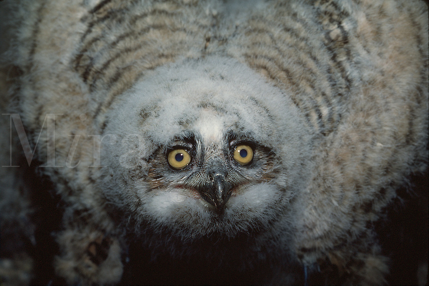 Portrait of a Great Horned owl displaying in a defensive crouch.
