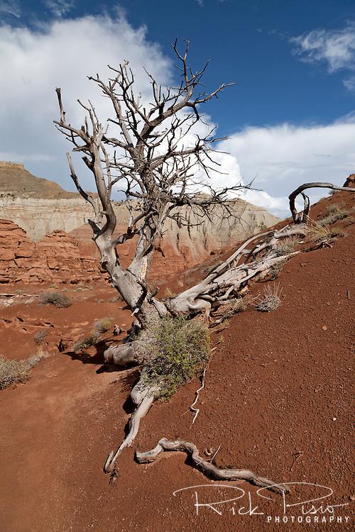 Deceased juniper tree clings to the sandstone in Utah's Kodachrome Basin State Park.