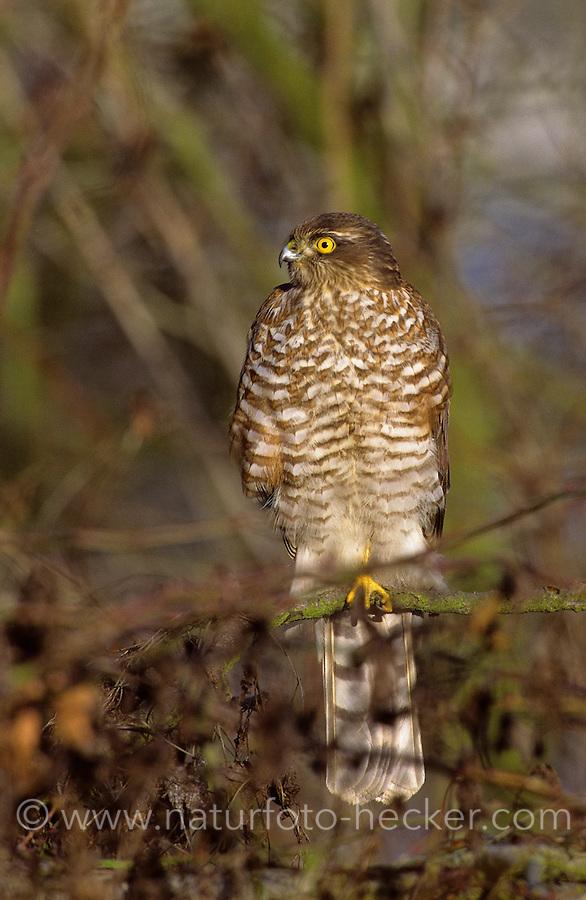Sperber, Accipiter nisus, northern sparrowhawk, sparrow hawk