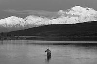 A Moose feeds at night in Wonder Lake, below Mt. McKinley in Denali National Park, Alaska.