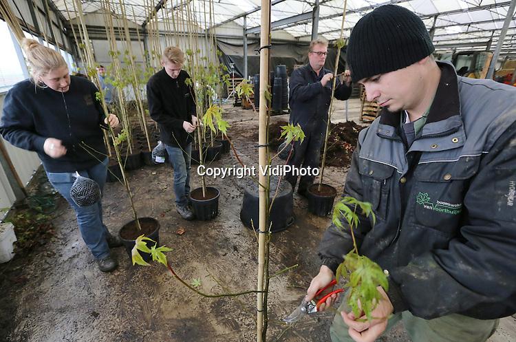 Foto: VidiPhoto<br /> <br /> RANDWIJK - Medewerkers van Boomkwekerij Van Voorthuijsen VOF in Randwijk zijn dinsdag hard aan het werk met het oppotten van jonge boompjes in 20 liter potten. In totaal moeten er tot en met januari zo'n 8000 zogenoemde spillen verwerkt worden. In het voorjaar worden die dan buiten op de percelen geplant. De meeste boompjes zijn bestemd voor andere boomkwekers. Van Voorthuijsen kweekt in zogenaamde goten, voordat het materiaal in de winter opgepot wordt. Daardoor is fors minder ruimte nodig en wordt er ook flink bespaard op personeel. Met het oppotten ontwikkelt de boom sneller grotere wortels, waardoor ze ook eerder verhandeld kunnen worden. De Randwijkse boomkweker is pionier op dit gebied. De vraag naar met plantmateriaal van Van Voorthuijsen is zo groot, dat men de productie ieder jaar moet verdubbelen.
