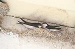 Omodos near Troodos, Swallow's nest, Cyprus, Zypern, Schwalbennest, Schwalben