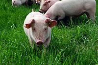 Cute piglet in grass, Maine, USA