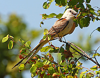Adult scissor-tailed flycatcher at nest site