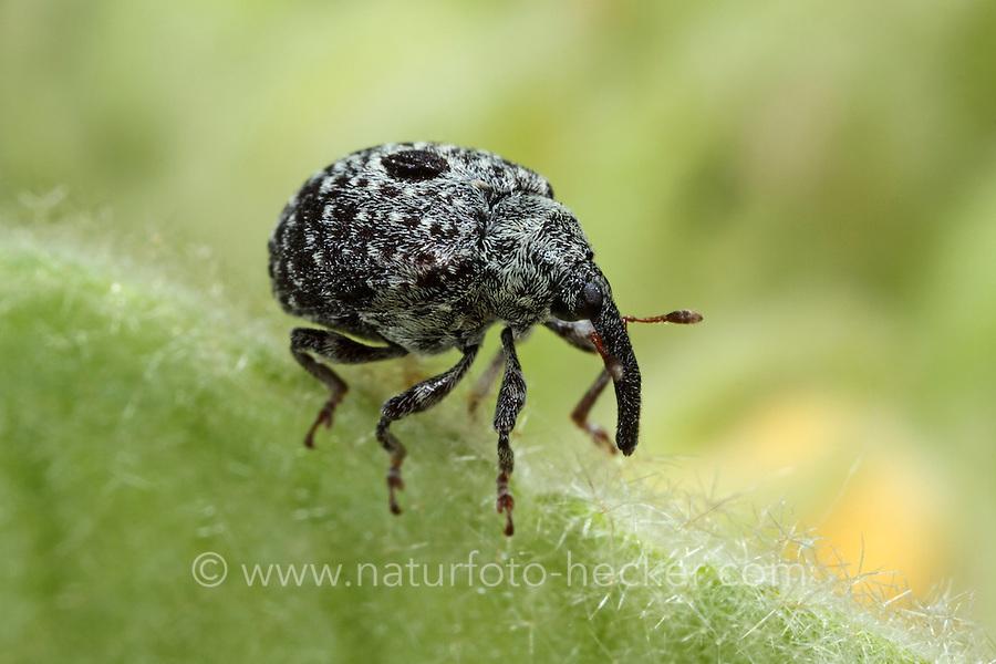 Garten-Blattschaber, Gartenblattschaber, Königskerzen-Blattschaber, Rüsselkäfer, Cionus hortulanus, weevil