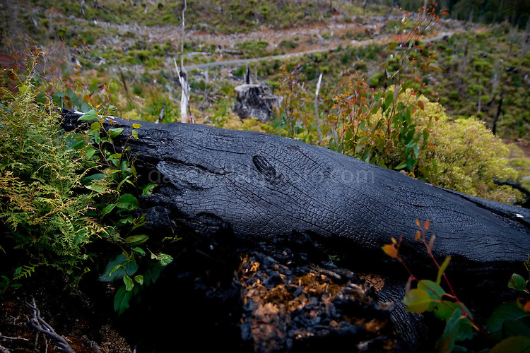 """Near the Florentine Valley, Mount Wedge and Lake Gordon, these burned trees are leftovers from a two year old clearcut under the reign of Forestry Tasmania, who permits companies to cut these forests for wood pulp, then burn the leftovers, drops 1080 poison to kill the wildlife. Plantation forest or """"native forest is then grown its place. Forest activists in Tasmania maintain that the government's forestry policy is destroying the environment and that 90% of Tasmania's old growth forest is already gone."""