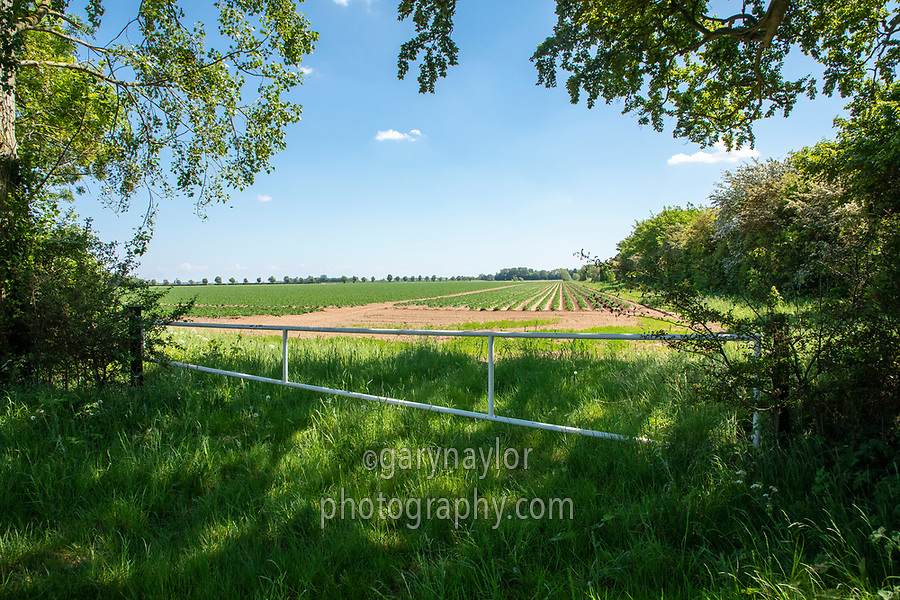 Farm gate leading to potato field; Lincolnshire, May