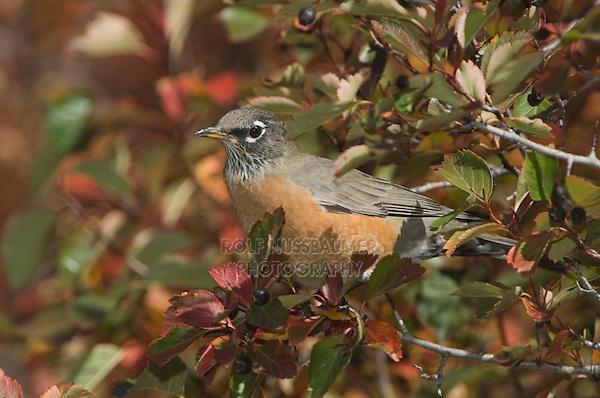 American Robin, Turdus migratorius, female in Black Hawthorn (Crataegus douglasii) fallcolors , Grand Teton NP,Wyoming, September 2005