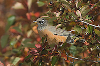 American Robin, Turdus migratorius, female in Black Hawthorn (Crataegus douglasii) fallcolors , Grand Teton NP,Wyoming, September 2005