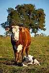 Cow No. 322 with her newborn calf at the Stoney Creek Corrals of the Busi Ranch, Amador County, Calif.