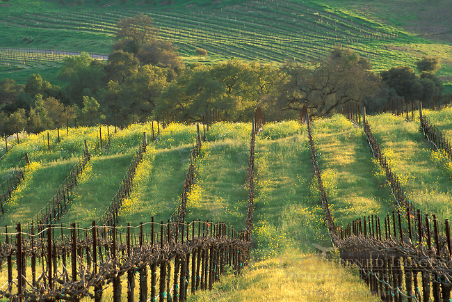 Sunset on vineyard in spring, Carneros Valley, Napa County, California