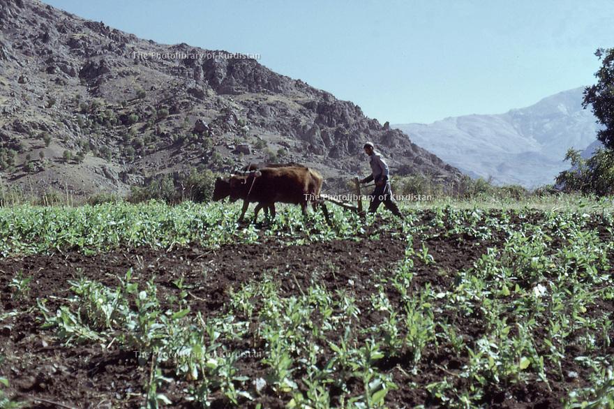 Irak 1973.Labour dans le Badinan.Iraq 1973.Ploughing in Badinan.