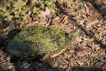 Brazoria County, Damon, Texas; a red eared slider turtle, covered in green algae, crossing a dirt road to get back to the water on the other side