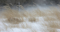 Strong winter winds blowing sand dunes grass along the shores of Lake Huron at Canatara Park.