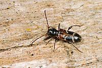 Kleiner Schönbock, Bunter Scheibenbock, Poecilium alni, Phymatodes alni, white banded longhorn beetle, white-banded longhorn beetle
