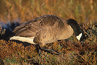537216060 a wild canadian goose branta canadensis feeds on wild plants and grasses at bosque del apache national wildlife refuge in new mexico