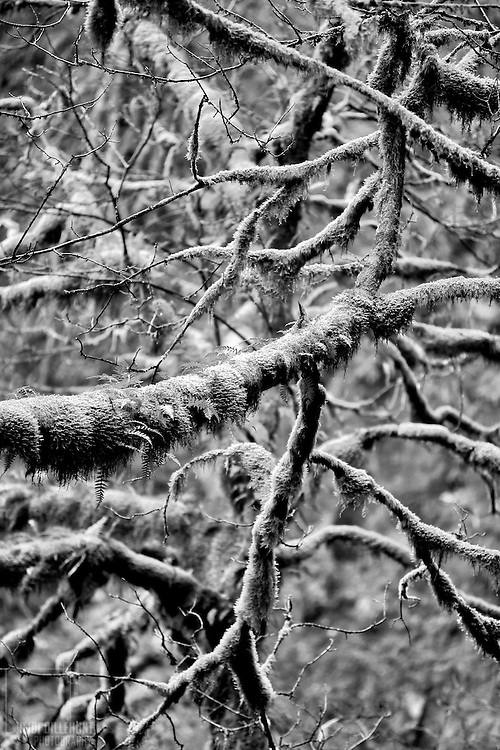 Moss on Branches, Columbia River Gorge, Oregon, Black & White