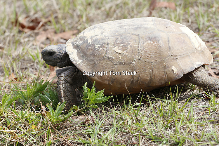 A closeup of a Gopher Tortoise,Gopherus polyphemus, a protected Threatened Species and the State Reptile of Georgia and the State Tortoise of Florida