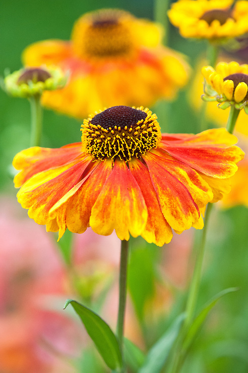 Helenium 'Sahin's Early Flowerer', early July. In spite of its name, it may in fact flower from July right through until November.