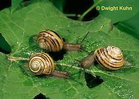 1Y08-093z  East Coast Land Snail, Sephia hortensis