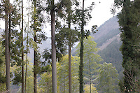 A view through the Cryptomeria pines to the steep slopes of the mountains beyond