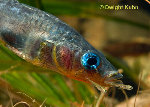 1S74-515z  Threespine Stickleback, Parental Male protecting young, Gasterosteus aculeatus,  Hotel Lake British Columbia