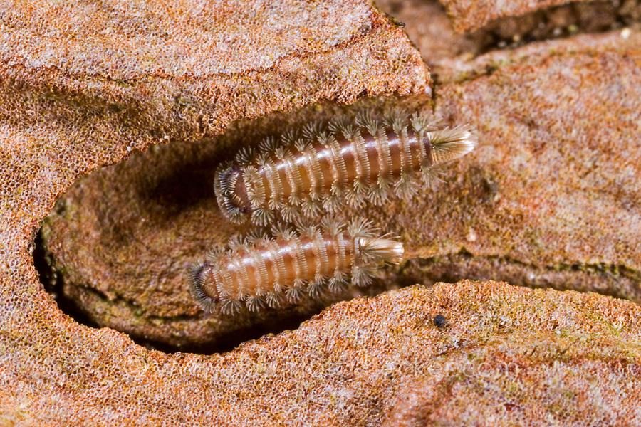 Pinselfüßer, Pinselfüßler, Polyxenus lagurus, bristly millipede