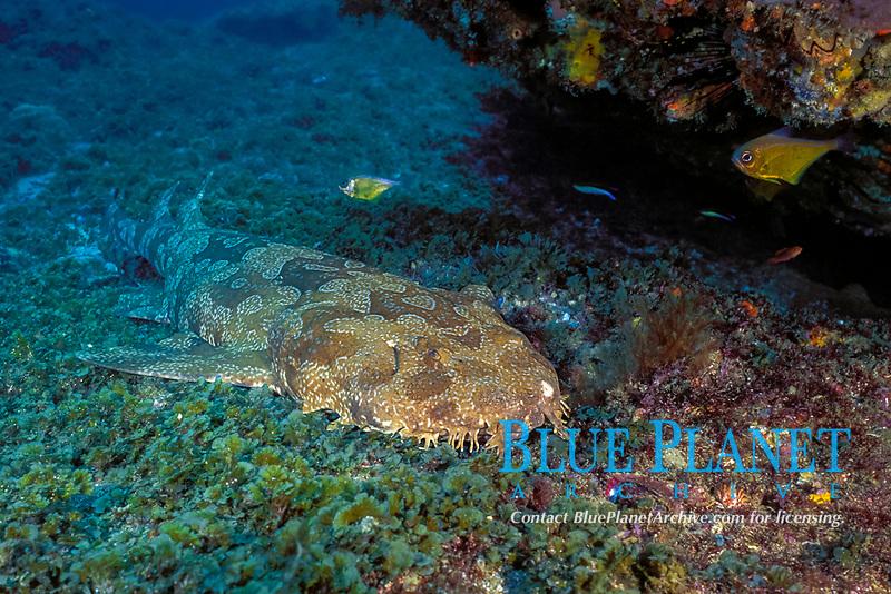 spotted wobbegong or carpet shark, Orectolobus maculatus, Shag Rock, N. Stradbroke Island, near Brisbane, Queensland, Australia