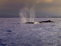 Upon breaching, two humpback whales' exhalations make a heart shape above them, Kailua Kona, Big Island.