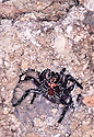 Sydney Funnelweb female, attack mode, burrow in discarded concrete. Woronora, New South Wales
