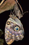 Owl Butterfly, Caligo species, resting after just hatching from pupae, chrysalis, drying wings, South America.Central America....