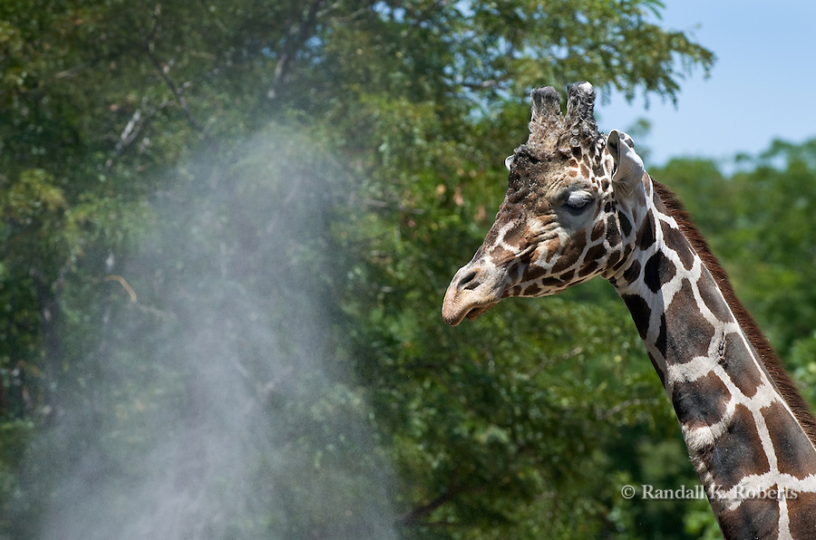 A giraffe at the Denver Zoo enjoys a cooling mist on a hot summer day.