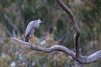 White-faced Heron (Egretta novaehollandiae novaehollandiae) resting in a tree on Kangaroo Island, South Australia, Australia.