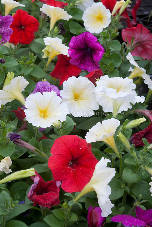 Mixed petunias, different colors, red, yellow, purple in flower