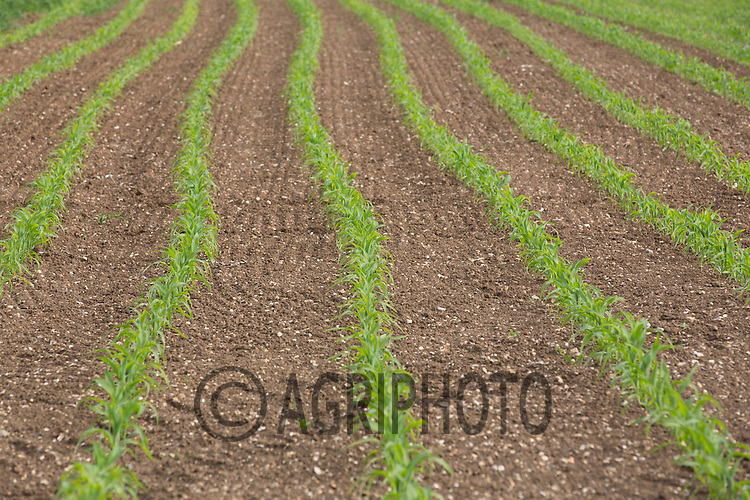 Young Maize Plants<br /> Picture Tim Scrivener 07850 303986