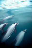 endemic Hector's dolphins, Cephalorhynchus hectori, small pods are resident around muddy river mouths and secluded bays, Kaikoura, New Zealand, Pacific Ocean