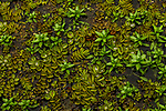 Floating aquatic plants, Ibera Provincial Reserve, Ibera Wetlands, Argentina